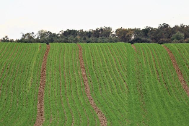 pole se zelenou pšenicí
