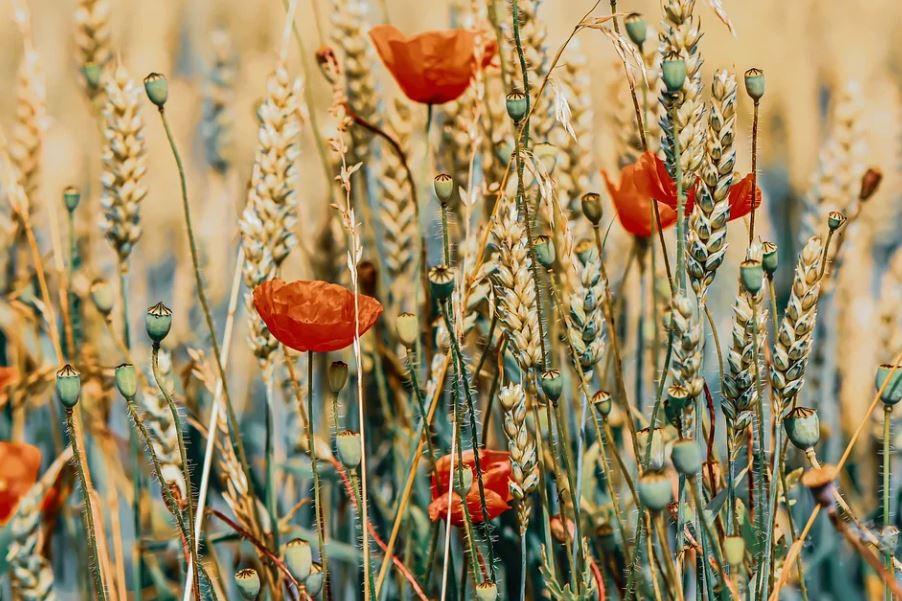 pšenice s vlčími máky